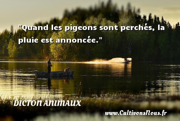 Quand les pigeons sont perchés, la pluie est annoncée. Un dicton animaux