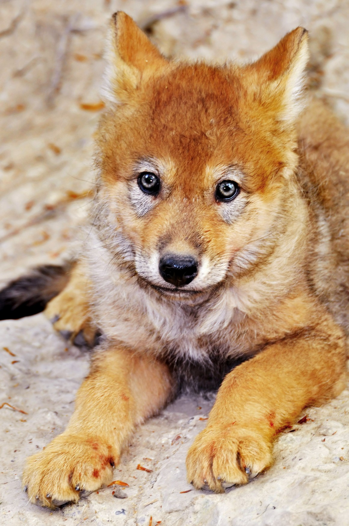 Les petits loups, un conte de Raymonde Verney