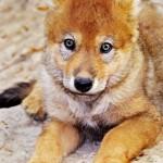 Les petits loups 4