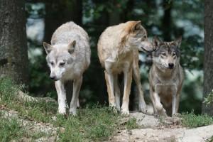 Les petits loups