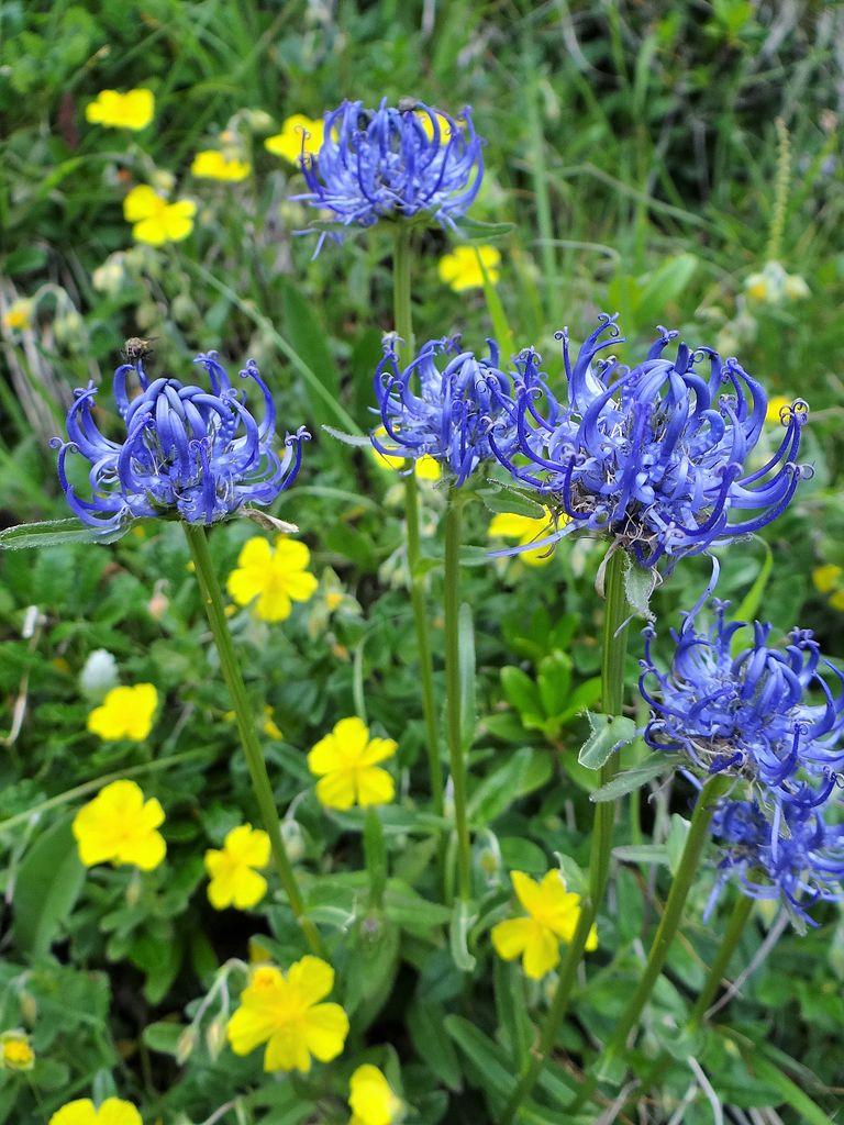 Fleur raiponce